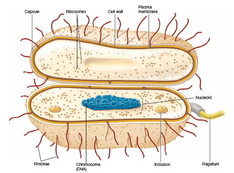 Bacterial cell morphology