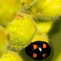 Orange-Spotted Lady Beetle