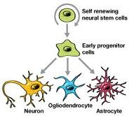 stem cell -neurons