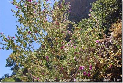 0613 Tamadaba-Berrazales(Malva arbórea)