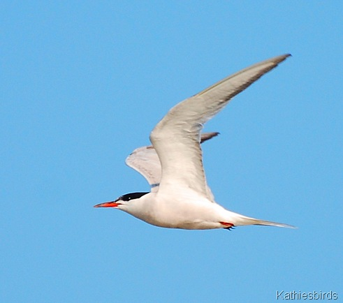 3. common tern-kab