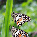 Citrus Swallowtails
