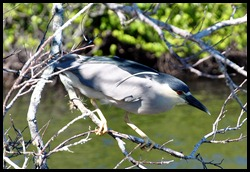 12 - Black Night Heron