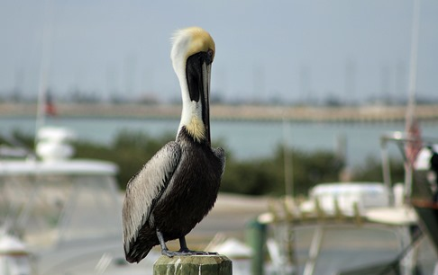 South Padre Pelican