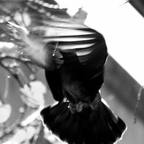 Bird in Motion by Suman Nag - Black & White Animals ( bird, black & white, art, out of box, abstruct,  )