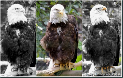 eagle collage