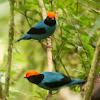 Blue manakin or Swallow-tailed manakin