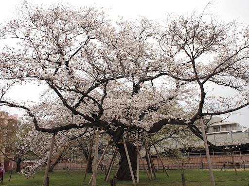 [写真]百年桜