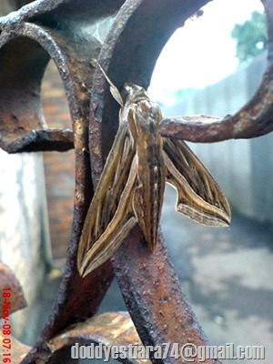 Ngengat Hippotion celerio atau Silver-striped Hawk-Moth / Vine Hawk-Moth