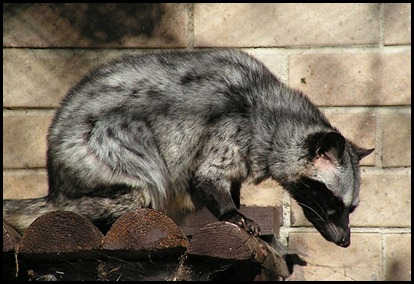 Asian Palm Civet - Toddy Cat