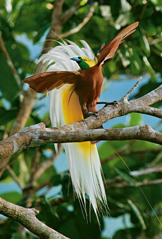 Тим Ламан: Тайны райских птиц clip_image005