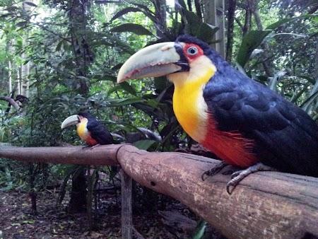Cascada Iguazu: Celebrii Tucan