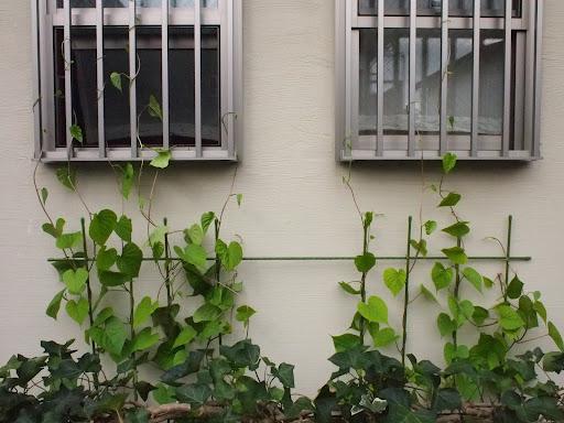 [写真]すでに窓の中ほどまで伸びている