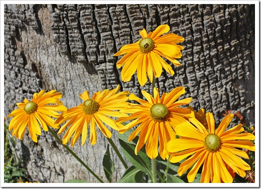 Rudbeckia-Irish-Eyes