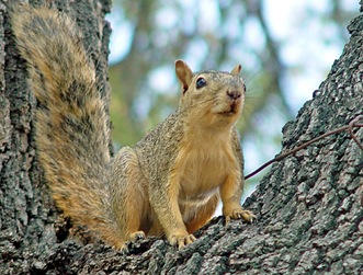 fox-squirrel-1a