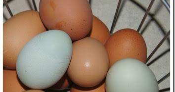 Backyard Chickens 101: We've got EGGS!