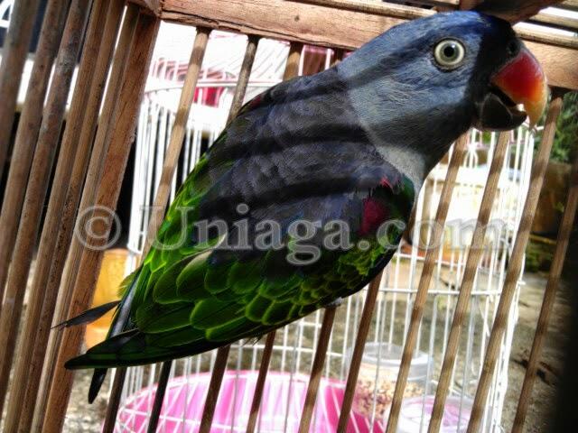 Burung Puling Uniaga Aviary