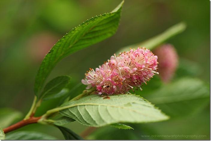 pink clethra flowering bush - photo by Adrienne Zwart of adrienneinohio.blogspot.com