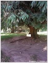 Дерево, посаженное Николаем II. Канди. Шри-Ланка. Фото Холоденина А. www.timeteka.ru