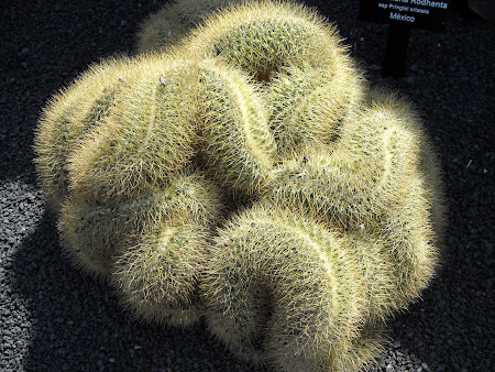 Din categoria cactuşilor cu forme ciudate din Lanzarote