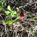 Black Berries (wild)