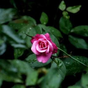 Rose in Monsoon by Vaibhav Shende - Flowers Single Flower ( rose, monsoon, dropplets,  )