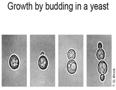 Budding in Yeast