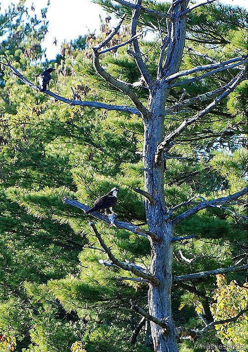 7. osprey in tree-kab