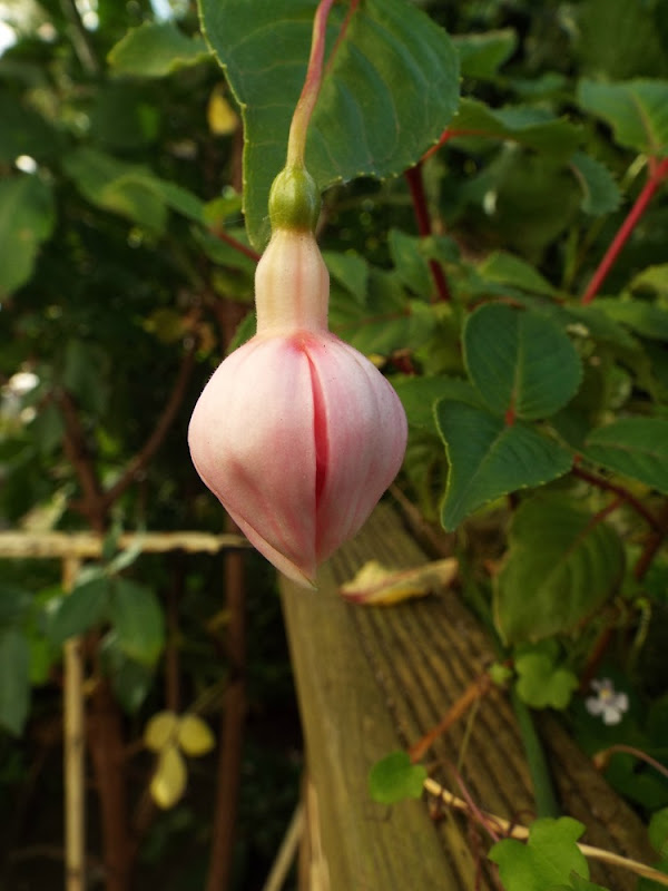 a fuchsia waiting to bloom