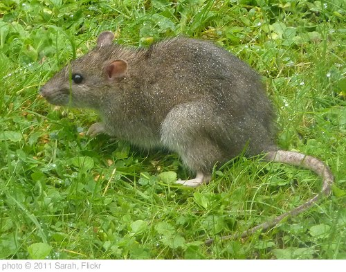 'Brown Rat - Rattus norvegicus 1a' photo (c) 2011, Sarah - license: http://creativecommons.org/licenses/by-sa/2.0/