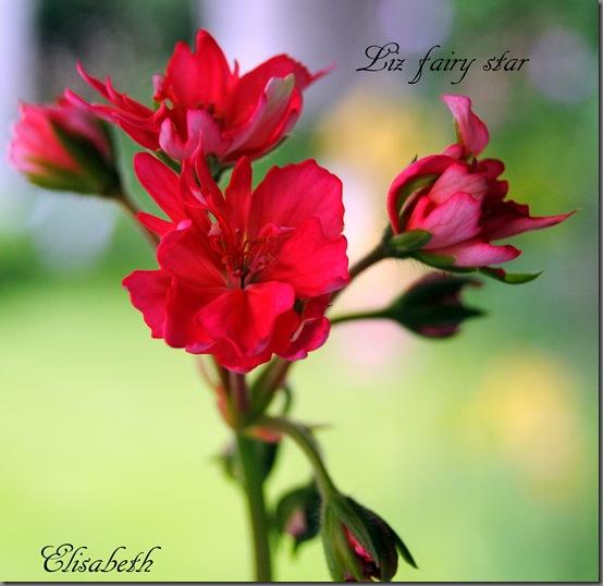 Pelargonium juli -11 065