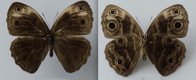 Bicyclus howarthi CONDAMIN, 1963, mâle. Ebogo (Cameroun), avril 2013. Coll. et photo : C. Basset