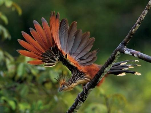 Тим Ламан: Тайны райских птиц clip_image009