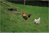 da isser wieder der Hahn