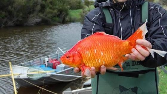 goldfish river ile ilgili görsel sonucu