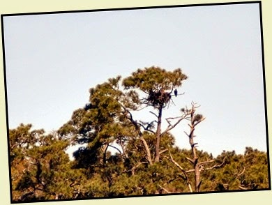 Eagle next to nest