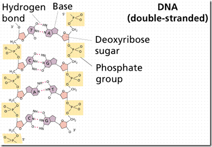 DNA double strand held togethor by Hydrogen base bond