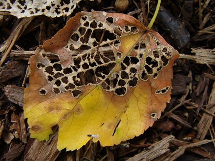 partially-skeletonized leaf