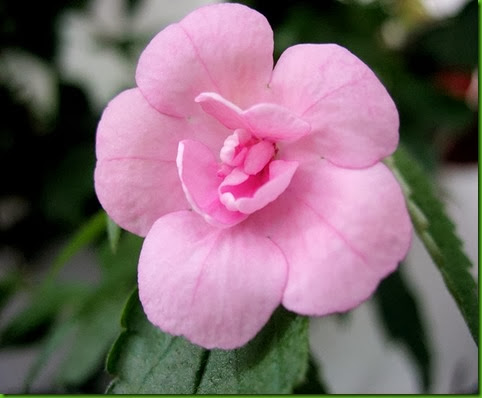 Achimenes Double Pink Rose