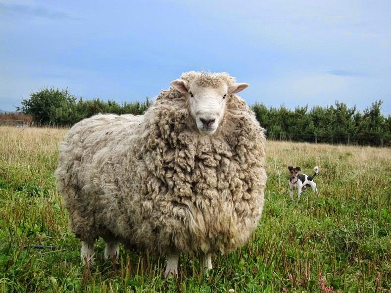 shrek-the-sheep-5