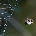 Christmas Spider, Jewel Spider