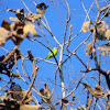 The Plum-headed Parakeet