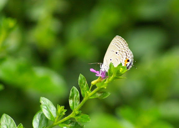 Catochrysops strabo FABRICIUS, 1793. Sepilok, 10 août 2011. Photo : J.-M. Gayman