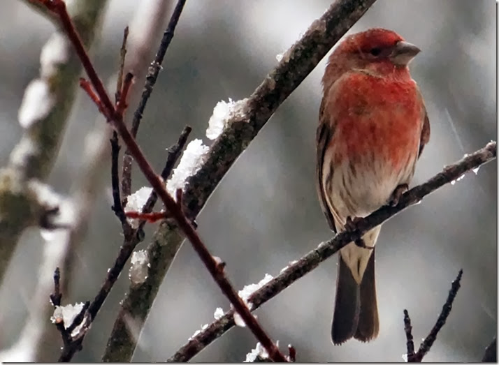 lopez house finch in the snow 122013 00000