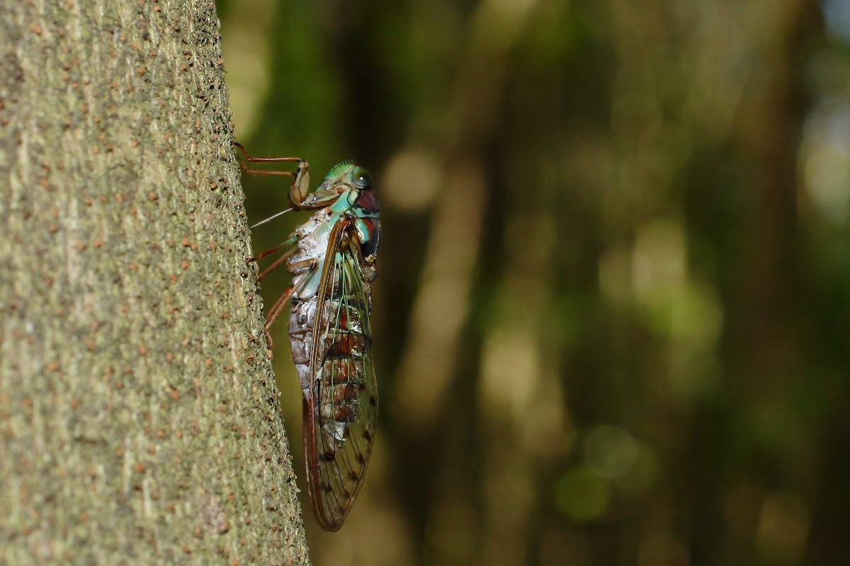 Evening cicada, male