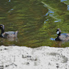 New Zealand Scaup/ Black Teal