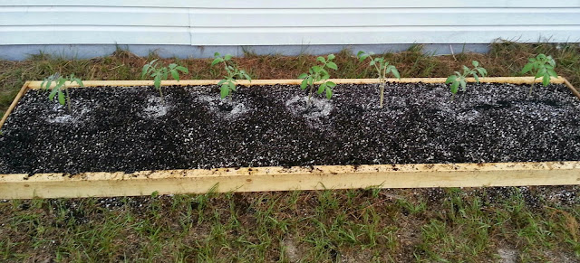 Transplanting Johnson German Tomato Seedlings Into Garden Bed