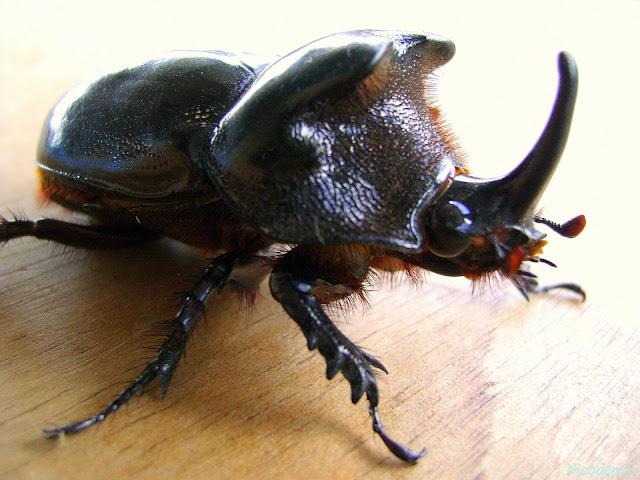 Dynastinae : Diloboderus abderus STURM,1826. Pitangui (MG, Brésil), 21 février 2010. Photo : Nicodemos Rosa