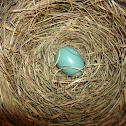 American Robin's 2nd nest