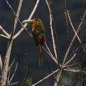 Saffron toucanet / Araçari-banana
